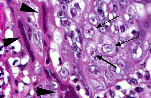 Genus Proboscivirus Porcine herpesvirus 2 causes inclusion body rhinitis in swine 2