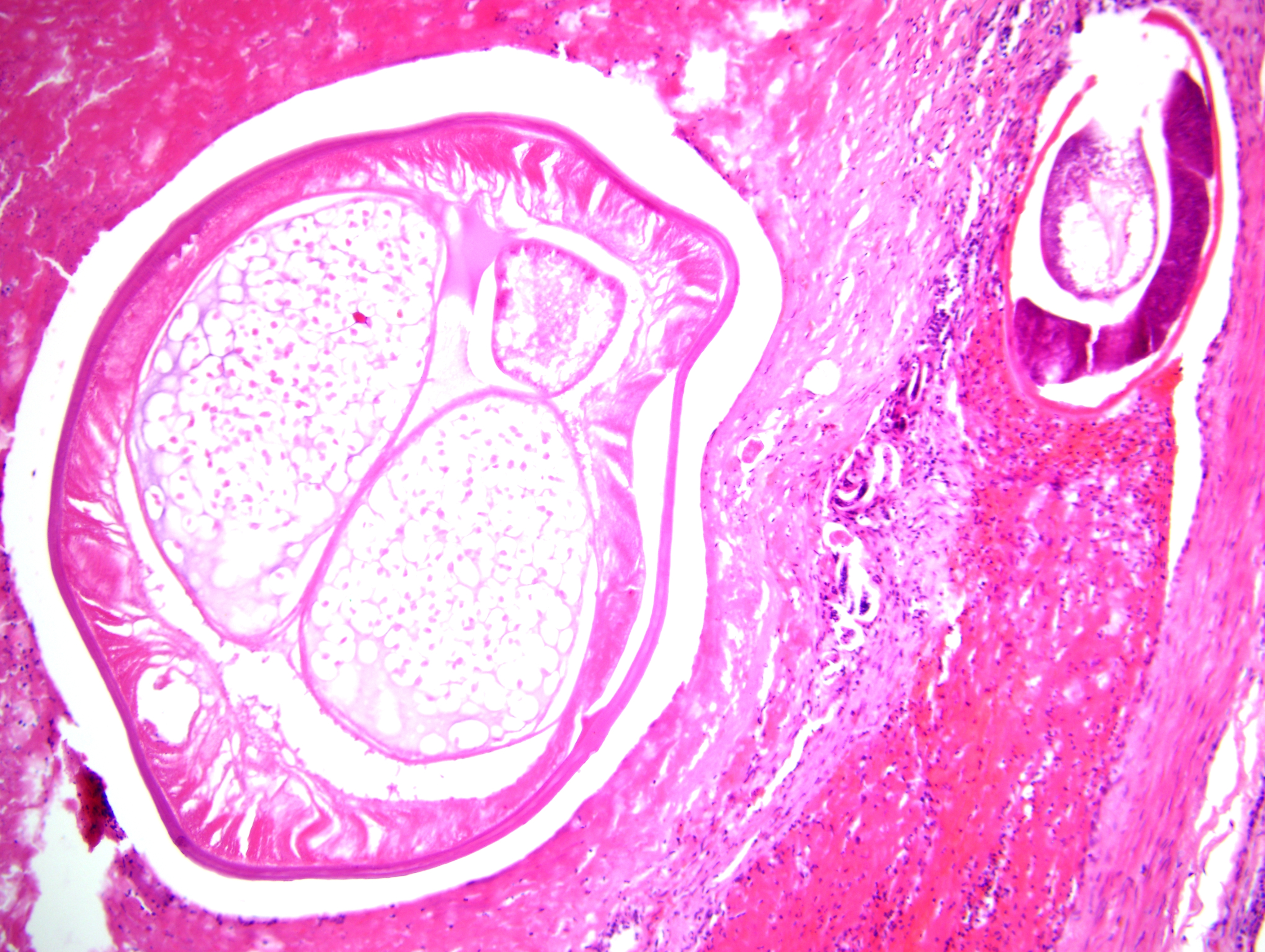 dirofilaria immitis egg - photo #16